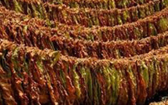 Почна исплатата на откупениот тутун, просечната цена 212 денари