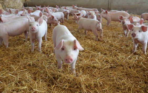 АХВ ќе врши попис на свињите како превенција од болеста Африканска чума