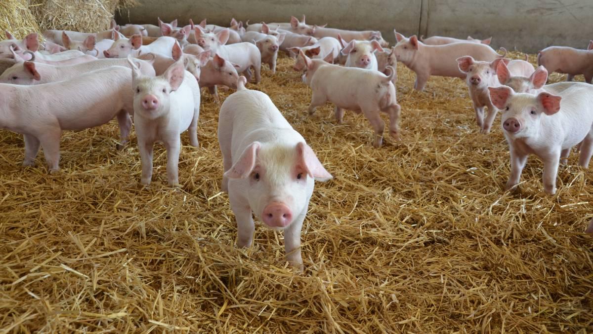 Photo of АХВ ќе врши попис на свињите како превенција од болеста Африканска чума