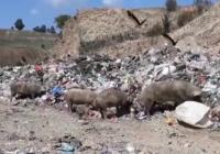 Откриени заразни ларви кај свињите во Србија