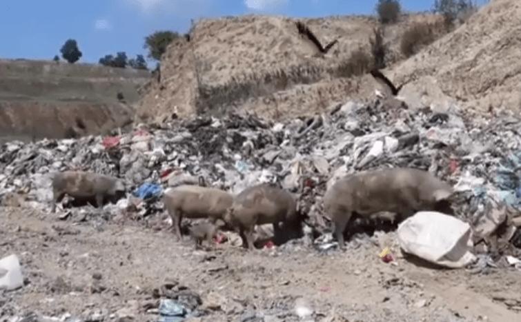 Photo of Откриени заразни ларви кај свињите во Србија