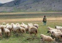 Зошто за плата од 500 евра никој не сака да биде овчар во Македонија?