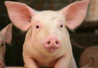 """АХВ: Во Македонија нема """"африканска свинска чума"""", """"Македонски шуми"""" – Демир Капија шири дезинформации"""