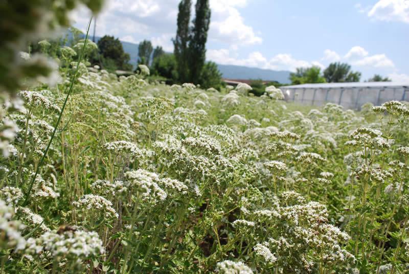 Photo of Бизнис идеја: Засадете ја оваа билка и заработете и по 3000 евра од хектар!