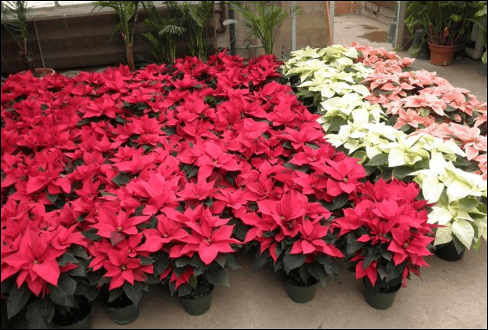 Photo of Божиќната ѕвезда и кактусот цветаат во мрак