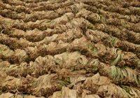Откупот на тутунот без проблеми, просечната цена 205,34 денари