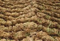 Откупени се 40% од тутунот