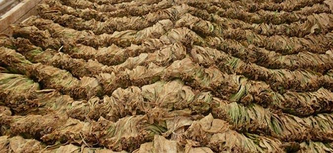 Photo of Откупот на тутунот без проблеми, просечната цена 205,34 денари