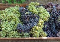 Тече рокот за аплицирање за финансиска поддршка за предадено грозје