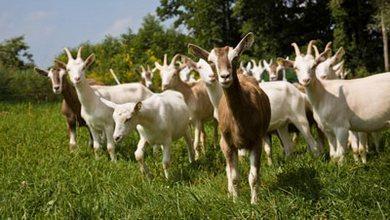 Photo of Исплатени субвенциите за фармерите кои имаат обележани грла кози