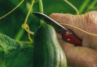 Холандските производители на зеленчук го срушија рекордот за производство на краставици