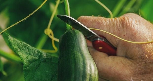 Photo of Холандските производители на зеленчук го срушија рекордот за производство на краставици