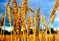 ХРАНАТА ЌЕ ПОСКАПЕ: Лисни вошки ќе ја нападнат пченицата