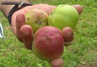 Преспанските овоштари пред колапс, бараат поголеми субвенции