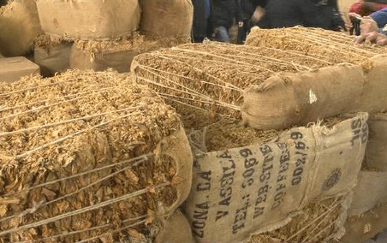 Откупен поголемиот дел од произведениот тутун во струмичко