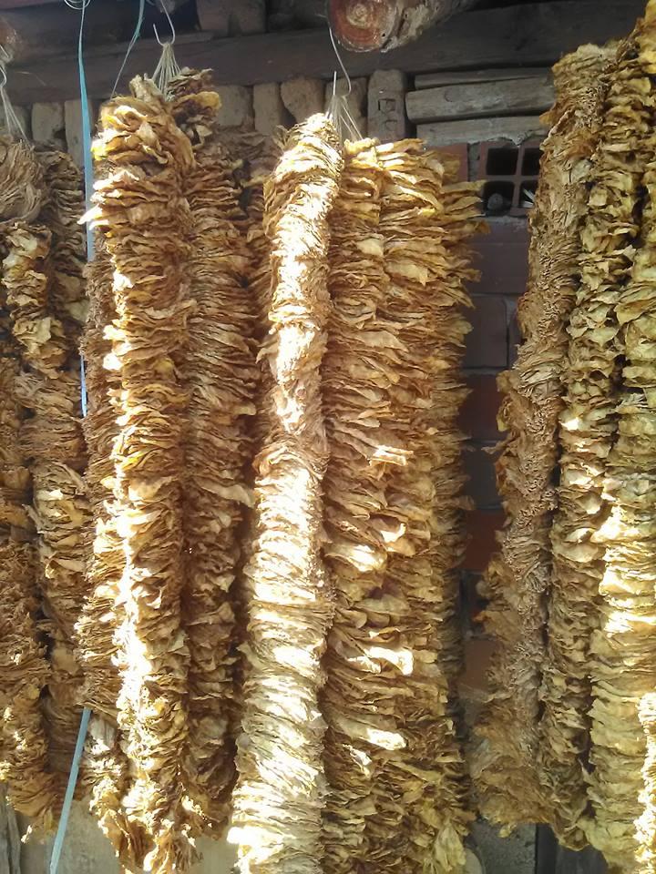Photo of Откупот на тутунот се одвива непречено, досега се откупени над 19 милиони килограми тутун по просечна цена од 222,5 денари за килограм