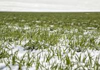 Снегот ја чува пченицата од мраз, а топењето обезбедува влажност