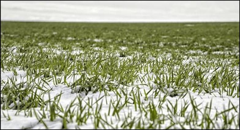 Photo of Снегот ја чува пченицата од мраз, а топењето обезбедува влажност