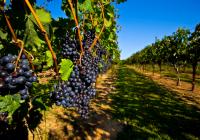 Со Автохони сорти на грозје до врвни вина