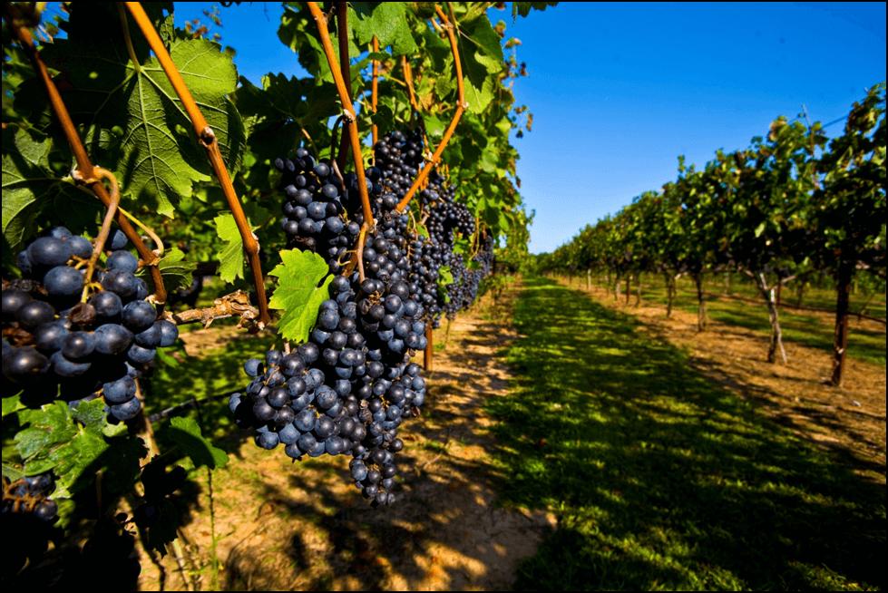 Photo of Со Автохони сорти на грозје до врвни вина