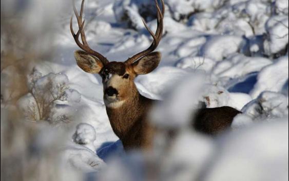 Бидете внимателни: Во периодот под снег, дивечот може да ги загрози младите овоштарници
