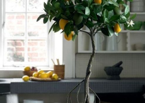 Одгледување лимон во саксија