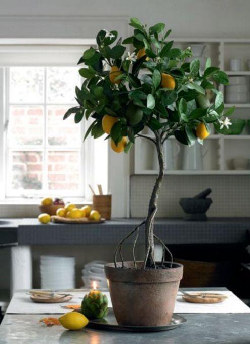 Photo of Одгледување лимон во саксија