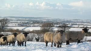 Photo of Студот и снегот не ги изненадија, сточарите подготвени