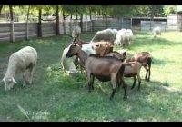 Календар на земјоделци- Овчарство и козарство