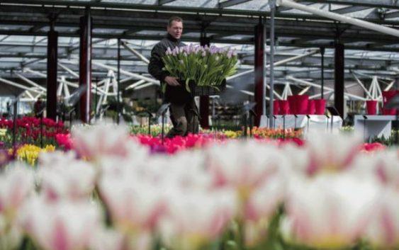 Брегзит без договор ја загрижува Холандија поради цвеќето