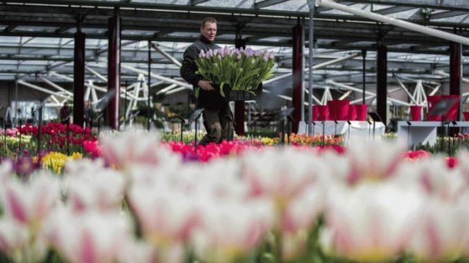 Photo of Брегзит без договор ја загрижува Холандија поради цвеќето