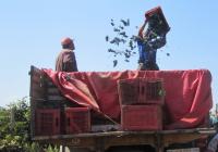 Лозарите најавуваат штрајк ако не им се плати грозјето предадено во 2015 година