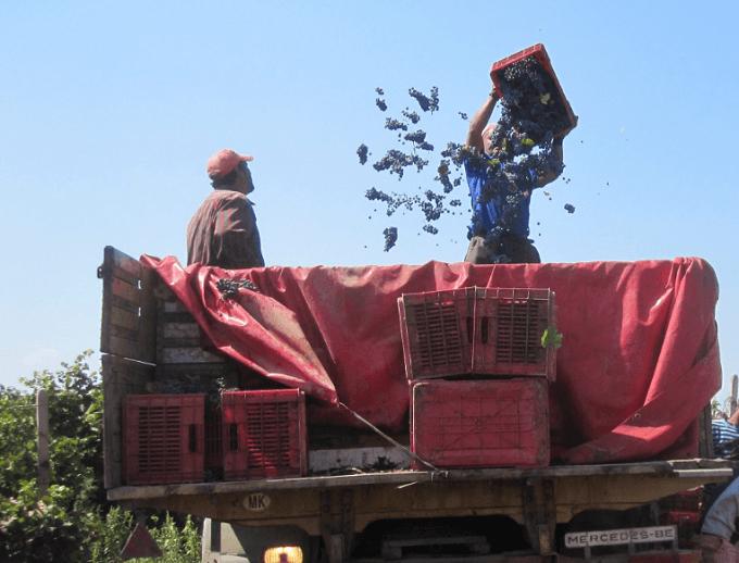 Photo of Лозарите најавуваат штрајк ако не им се плати грозјето предадено во 2015 година