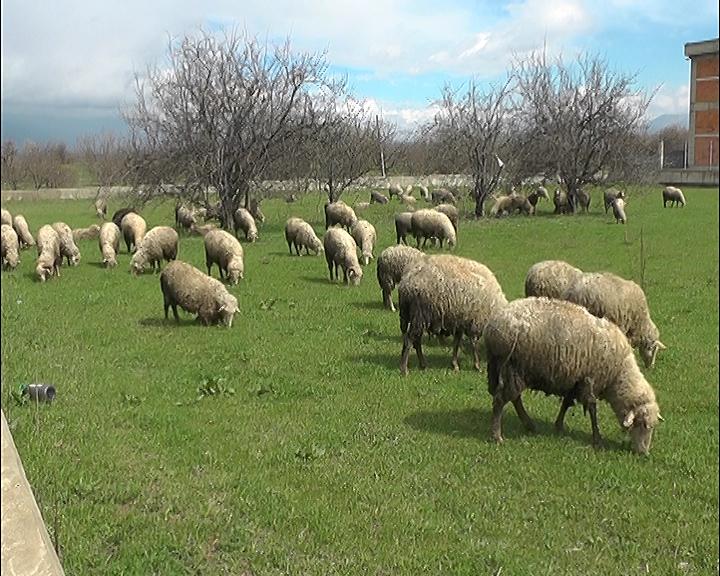 Photo of Овчарството во Македонија го допре дното