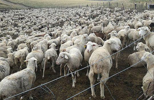 Овчарството да се прогласи за гранка од посебен национален интерес