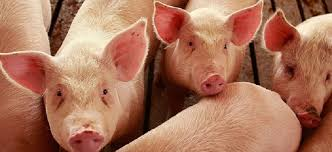Photo of Во Македонија досега нема пријавен ниту еден случај на трихинела кај домашни свињи