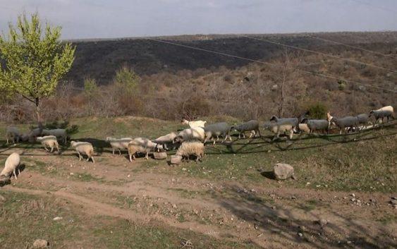Асоцијацијата на земјоделци бара да се преброи точниот број на овци во државата