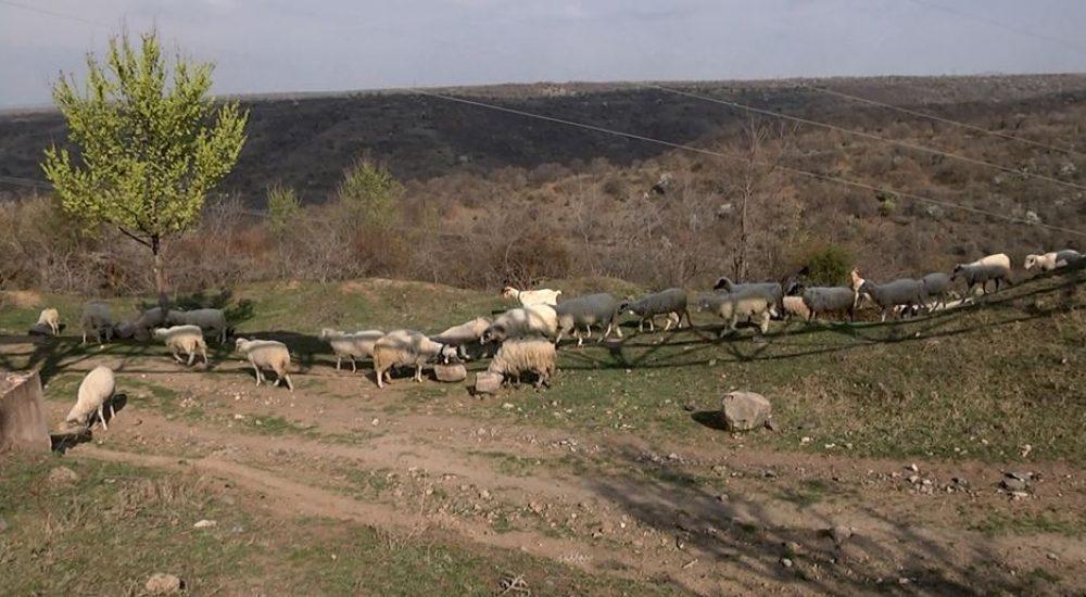 Photo of Асоцијацијата на земјоделци бара да се преброи точниот број на овци во државата