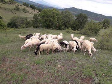 Photo of Кога ќе ги преброиме овците, ќе ни биде полесно