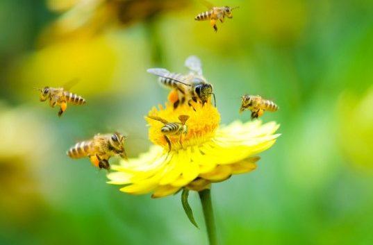 Пчелите се прогласени за најважни живи суштества на планетата Земја