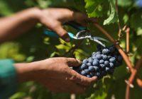 Лозарите бараат откупна цена од 15 до 20 денари за килограм грозје