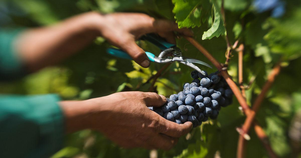 Photo of Лозарите бараат откупна цена од 15 до 20 денари за килограм грозје