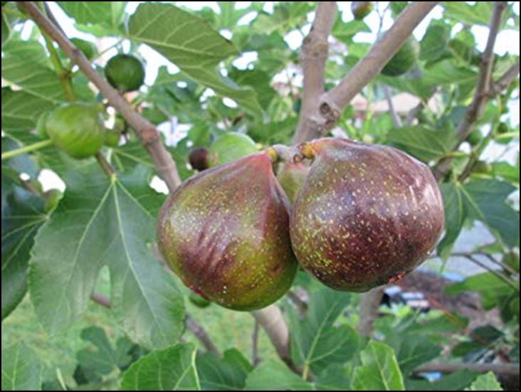 Photo of Совети за успешно одгледување на смоквата