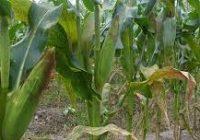 Сушата неповолна за земјоделските култури