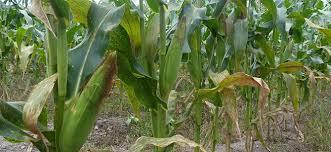 Photo of Сушата неповолна за земјоделските култури