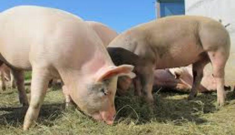 Photo of Ќе се разгледува барањето за забрана за чување свињи во селските домаќинства