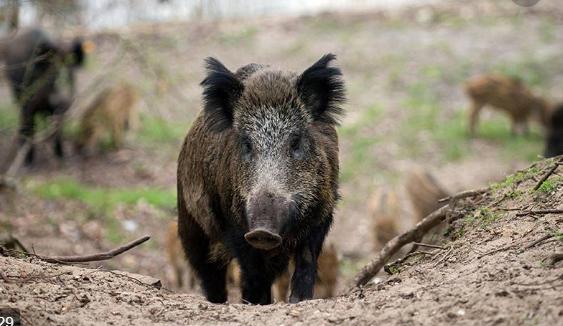 Дивите свињи на Водно никој не ги контролира, ама тие немале чума?!