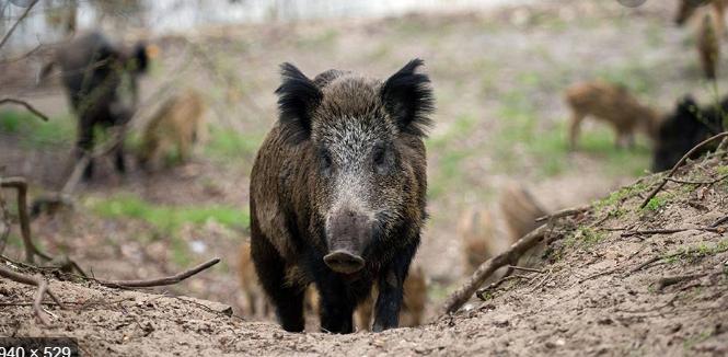 Photo of Дивите свињи на Водно никој не ги контролира, ама тие немале чума?!