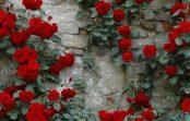 Како да се негува кралицата на градината- розата?