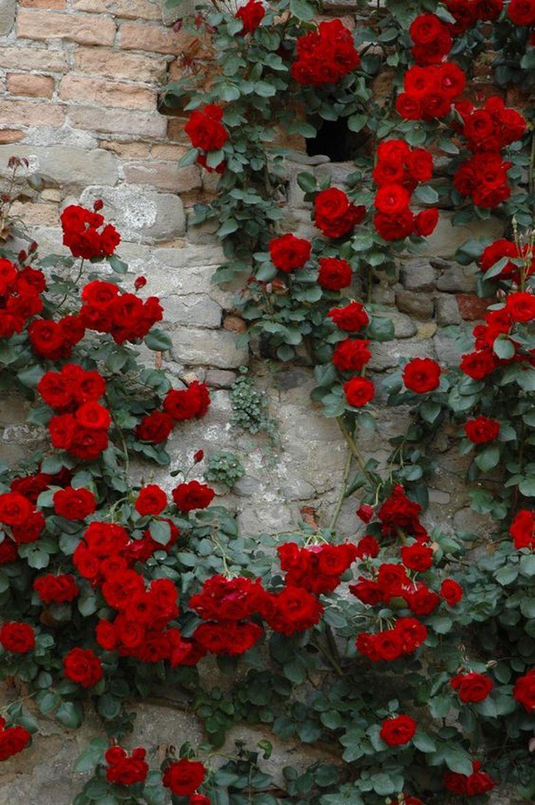 Photo of Како да се негува кралицата на градината- розата?